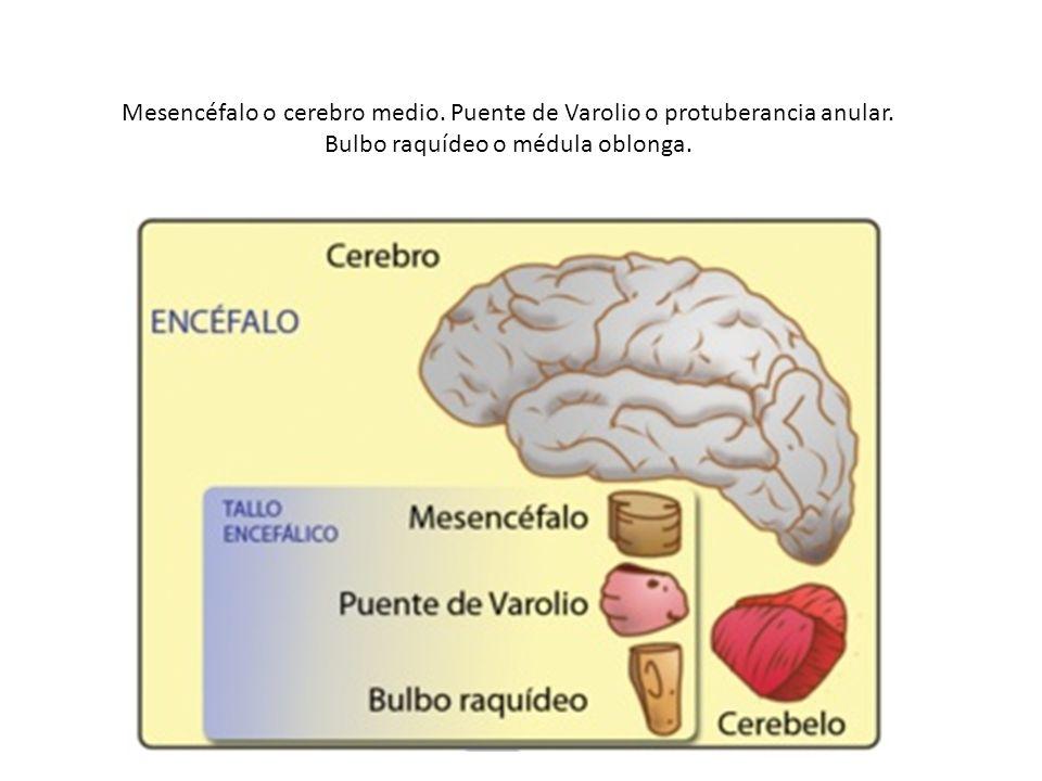 Mesencéfalo o cerebro medio. Puente de Varolio o protuberancia anular