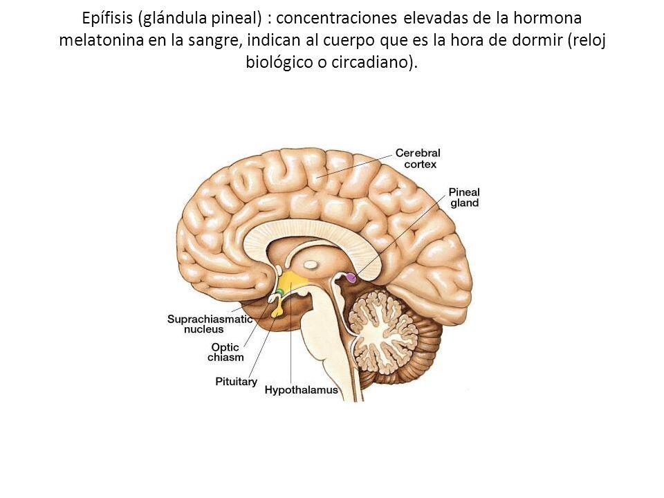 Epífisis (glándula pineal) : concentraciones elevadas de la hormona melatonina en la sangre, indican al cuerpo que es la hora de dormir (reloj biológico o circadiano).