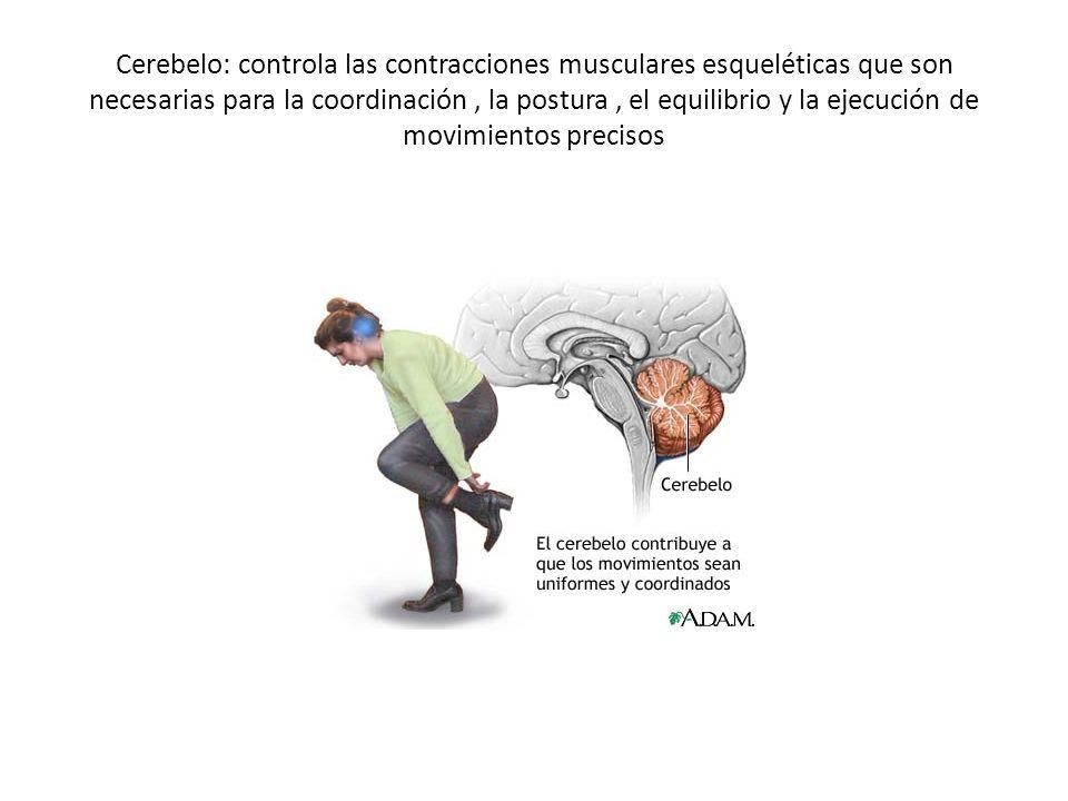 Cerebelo: controla las contracciones musculares esqueléticas que son necesarias para la coordinación , la postura , el equilibrio y la ejecución de movimientos precisos