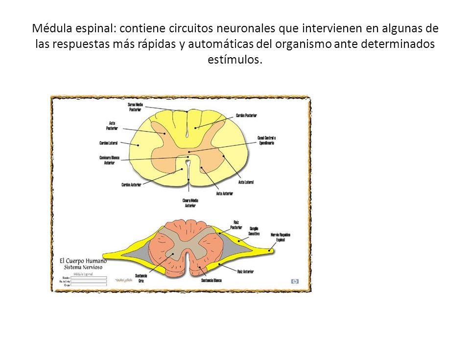 Médula espinal: contiene circuitos neuronales que intervienen en algunas de las respuestas más rápidas y automáticas del organismo ante determinados estímulos.