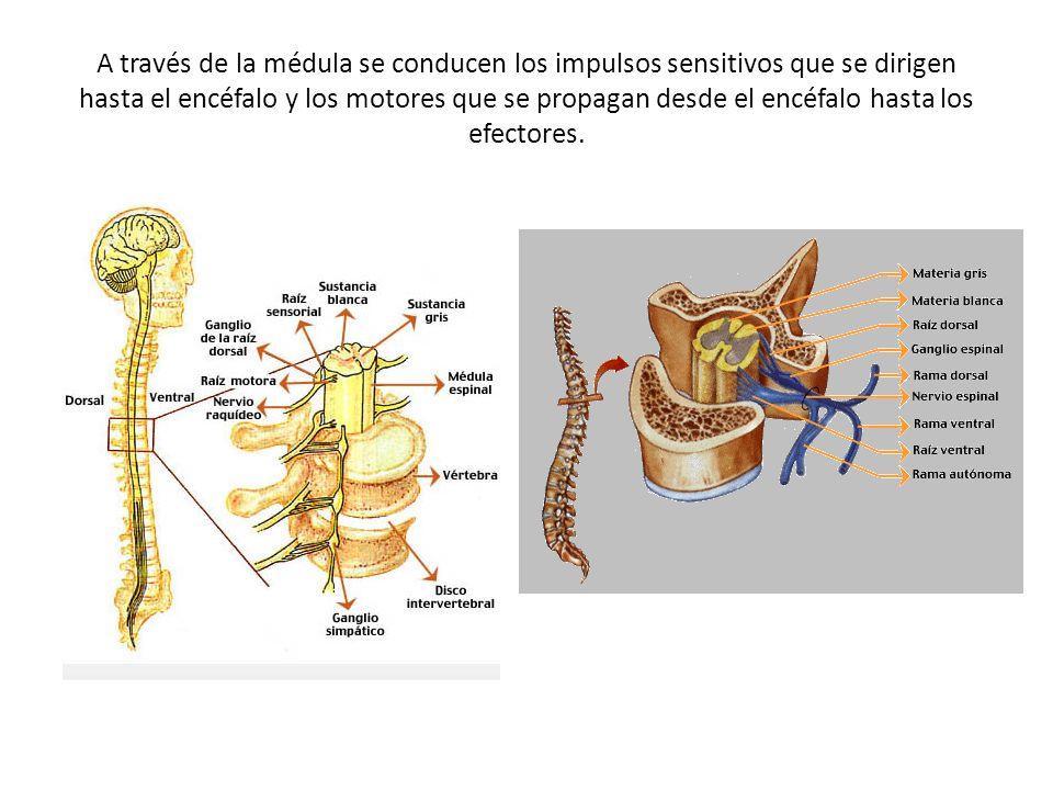 A través de la médula se conducen los impulsos sensitivos que se dirigen hasta el encéfalo y los motores que se propagan desde el encéfalo hasta los efectores.