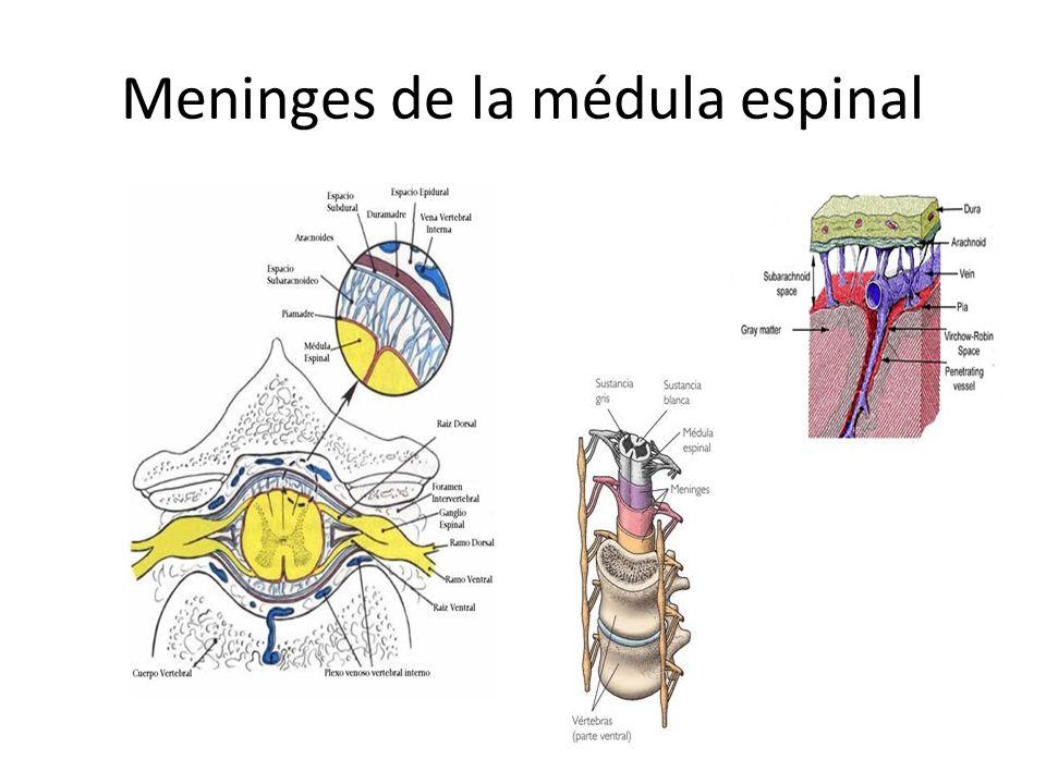 Meninges de la médula espinal