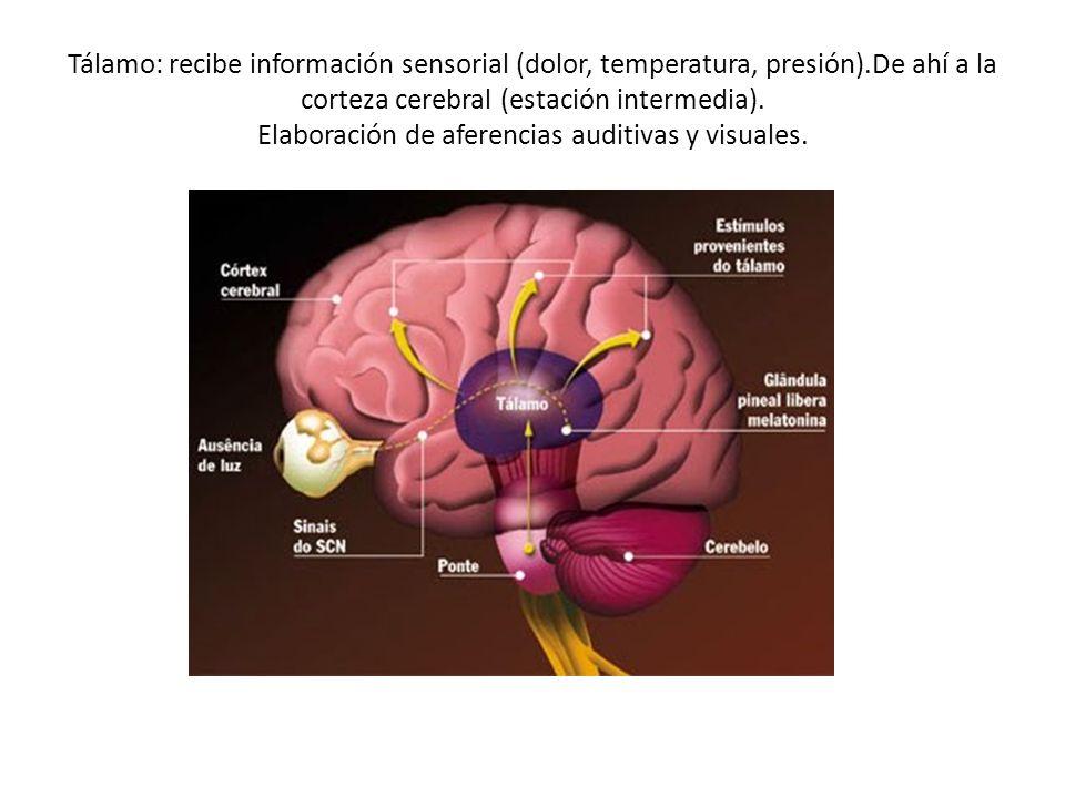 Tálamo: recibe información sensorial (dolor, temperatura, presión)