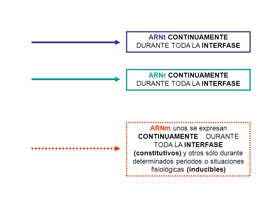 ARNt CONTINUAMENTE DURANTE TODA LA INTERFASE