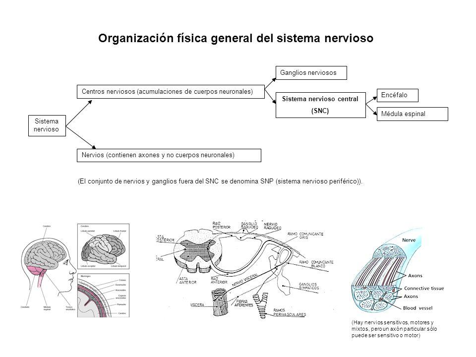 Organización física general del sistema nervioso
