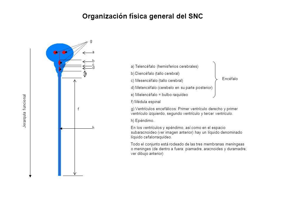 Organización física general del SNC