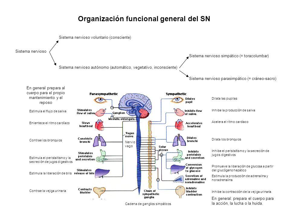 Organización funcional general del SN