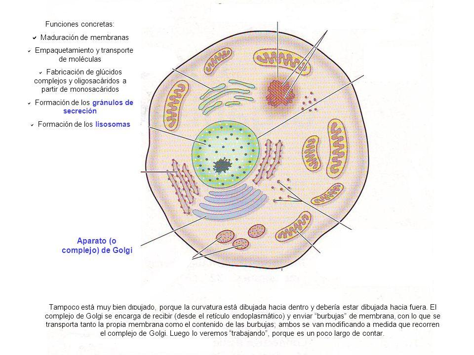 Aparato (o complejo) de Golgi