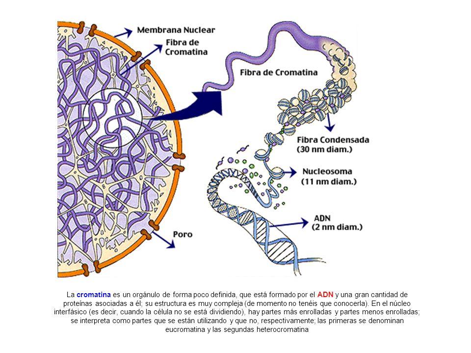 La cromatina es un orgánulo de forma poco definida, que está formado por el ADN y una gran cantidad de proteínas asociadas a él; su estructura es muy compleja (de momento no tenéis que conocerla).
