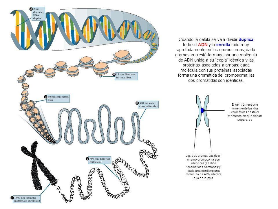Cuando la célula se va a dividir duplica todo su ADN y lo enrolla todo muy apretadamente en los cromosomas; cada cromosoma está formado por una molécula de ADN unida a su copia idéntica y las proteínas asociadas a ambas; cada molécula con sus proteínas asociadas forma una cromátida del cromosoma; las dos cromátidas son idénticas.