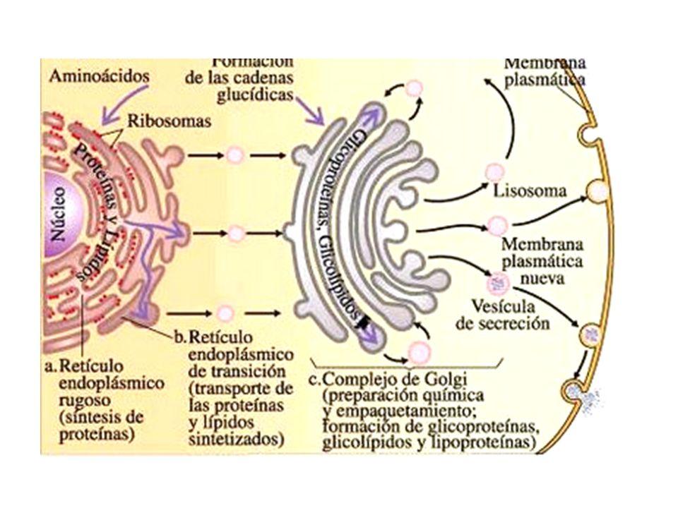 http://1.bp.blogspot.com/_EdiSPJX1jg8/SgQ3o8TbI5I/AAAAAAAABrk/xMGrYMvUEeo/s400/Nucleo-Golgi.jpg