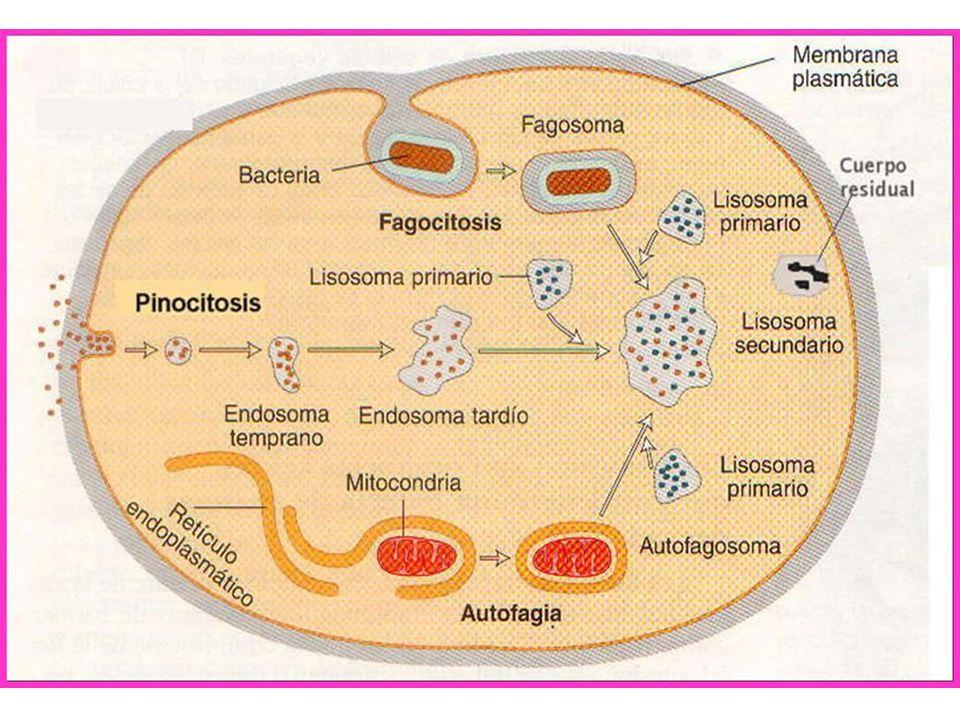 http://www.leriko.cz.cc/biolcito/endomem3/fagocitosis.jpg