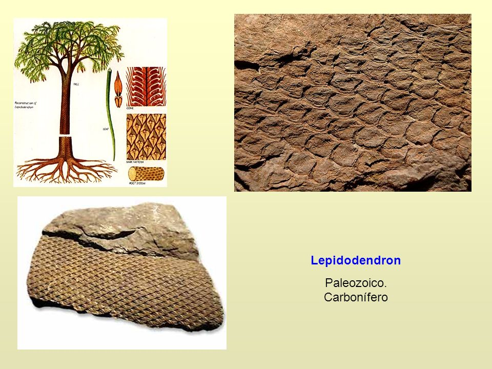 Paleozoico. Carbonífero