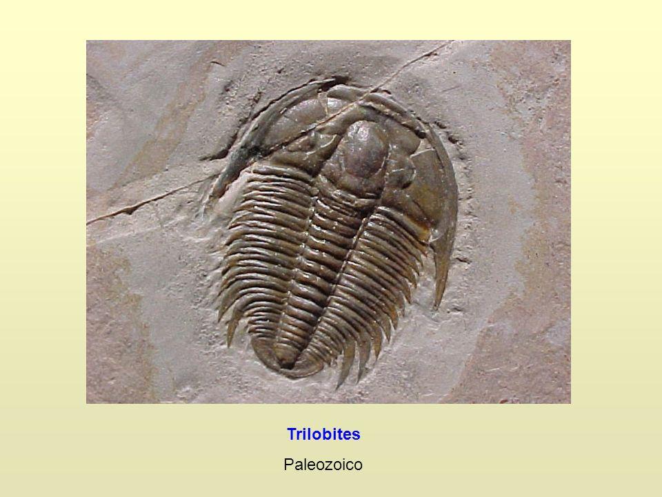 Trilobites Paleozoico