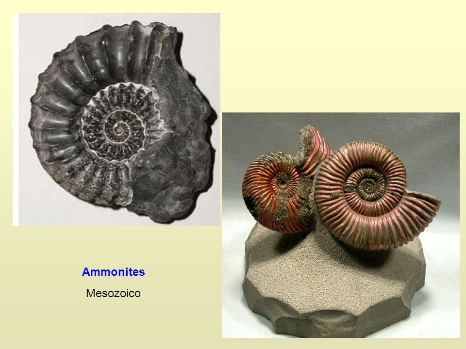 Ammonites Mesozoico