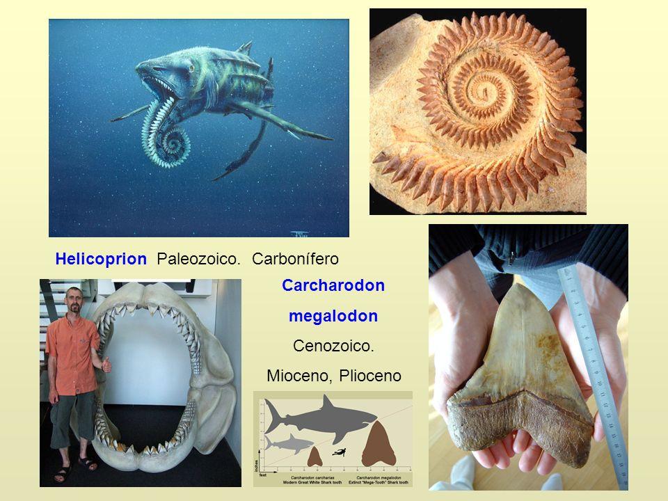 Helicoprion Paleozoico. Carbonífero