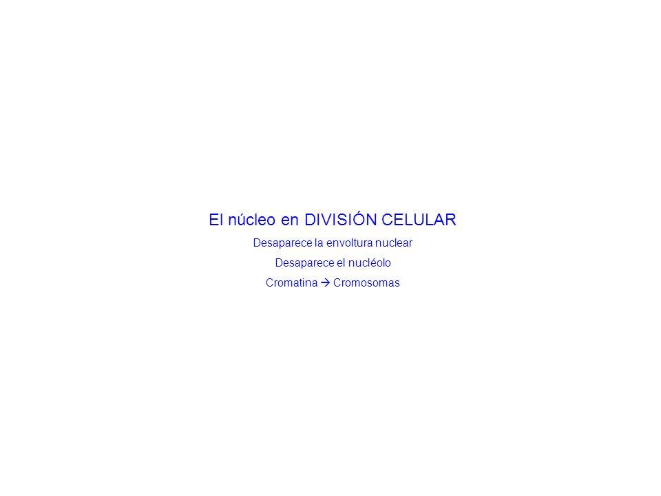 El núcleo en DIVISIÓN CELULAR