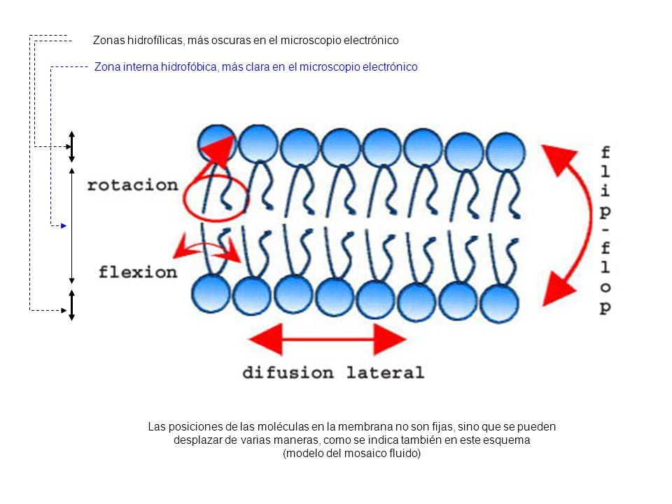 Zonas hidrofílicas, más oscuras en el microscopio electrónico