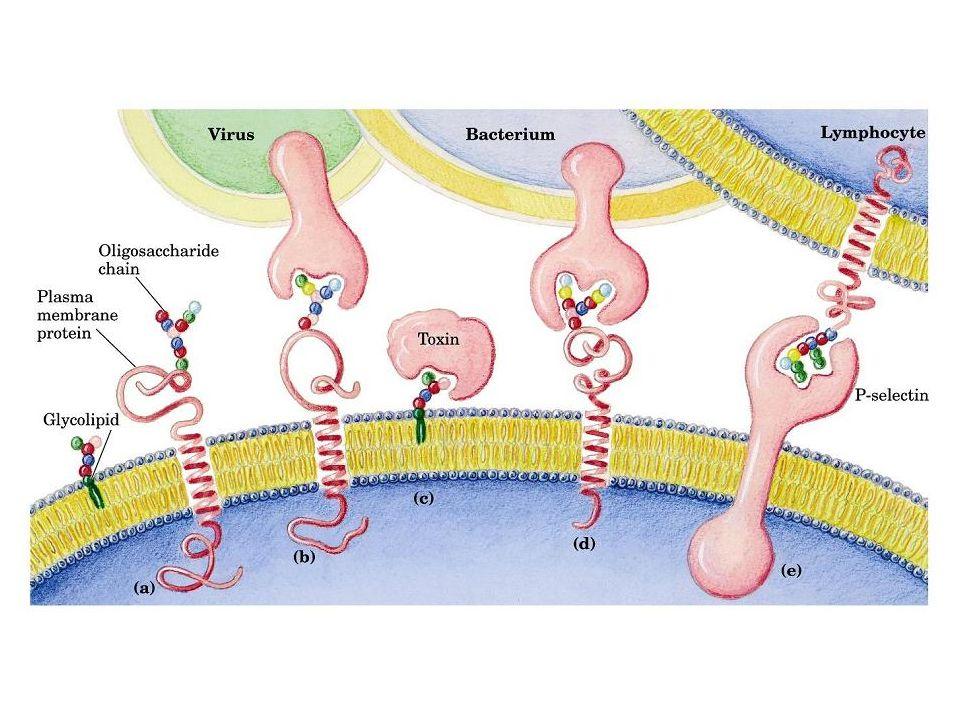 http://bifi.es/jsancho/estructuramacromoleculas/15polisacaridos/polisacaridos/glicoconjugados/glicomembrana.JPG