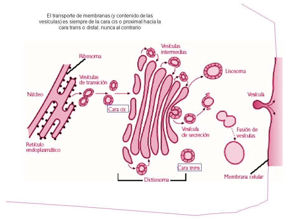 http://www.hiru.com/biologia/los-organulos-celulares