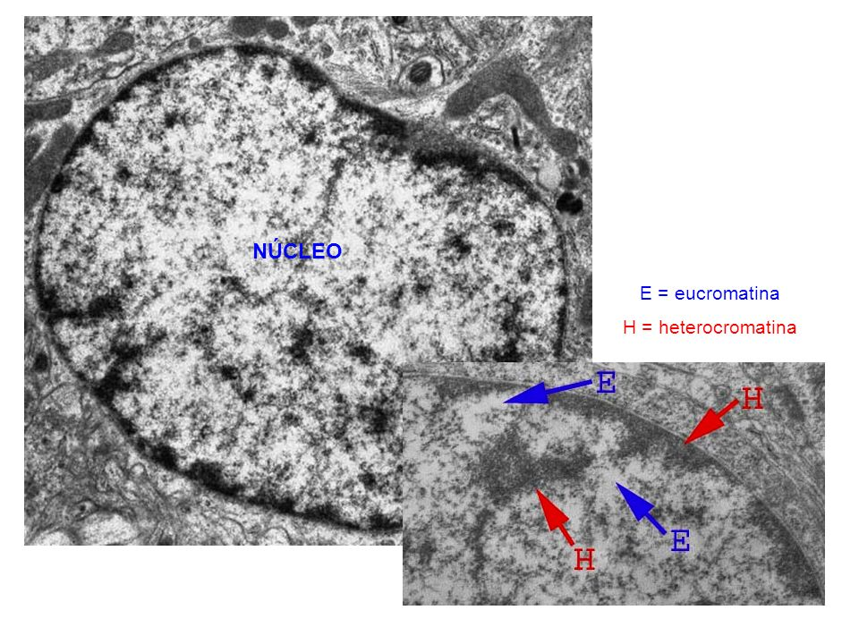 NÚCLEO E = eucromatina H = heterocromatina