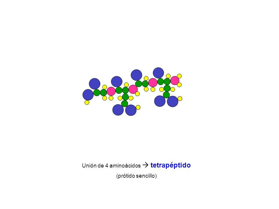 Unión de 4 aminoácidos  tetrapéptido