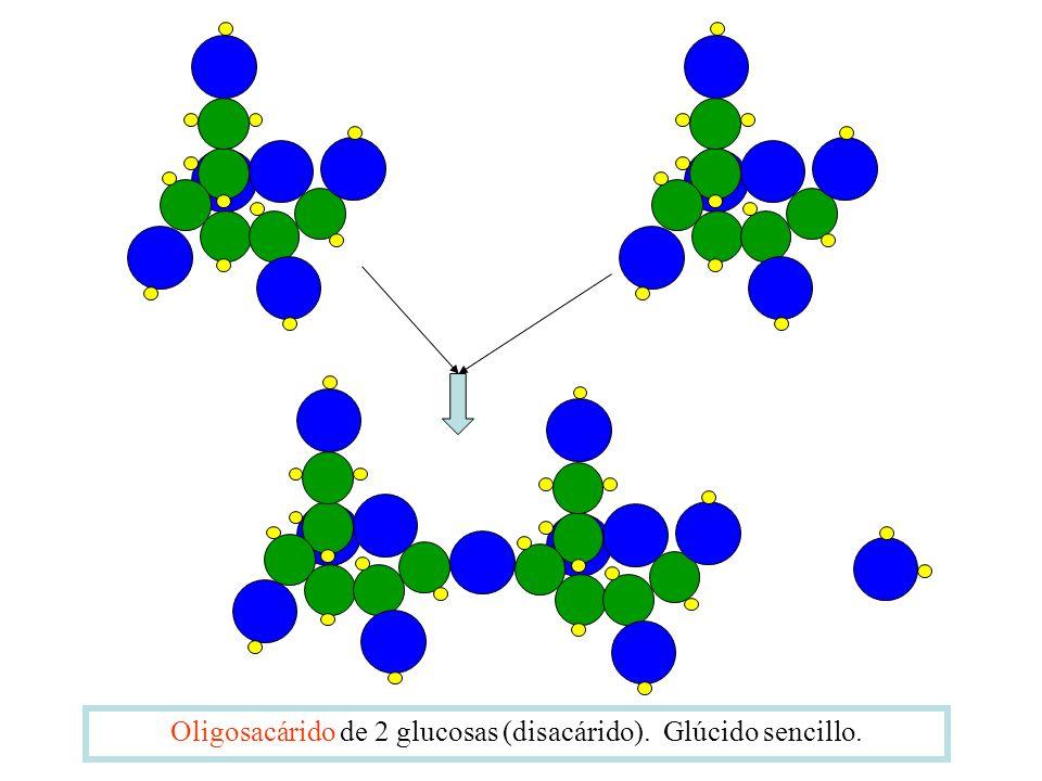 Oligosacárido de 2 glucosas (disacárido). Glúcido sencillo.