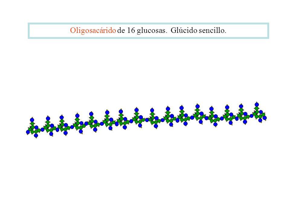 Oligosacárido de 16 glucosas. Glúcido sencillo.