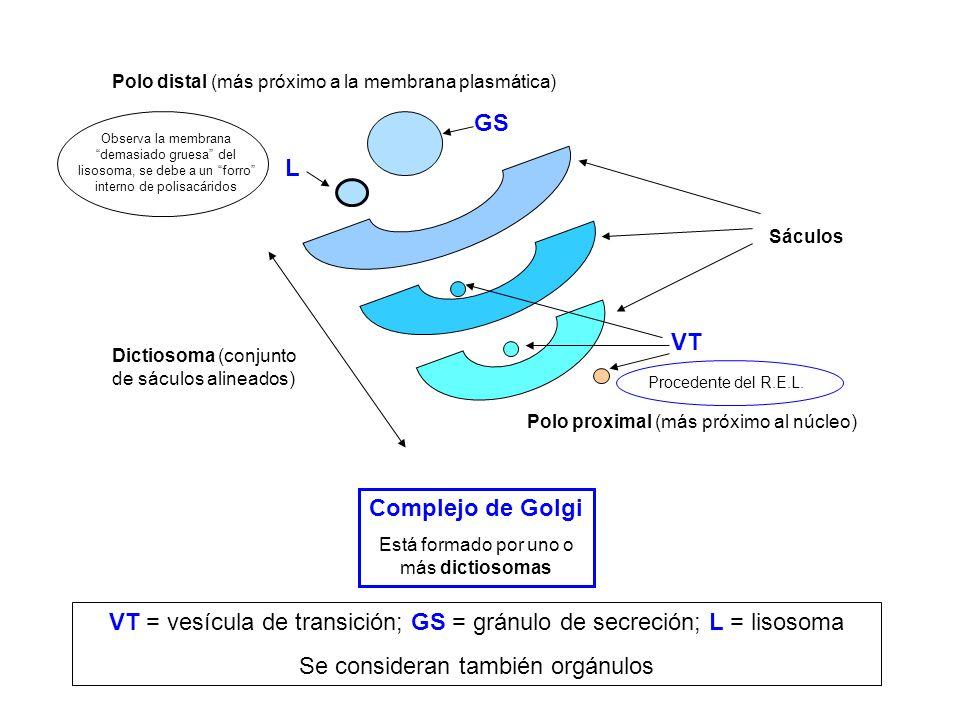 VT = vesícula de transición; GS = gránulo de secreción; L = lisosoma
