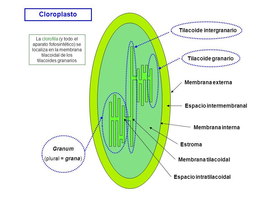 Espacio intermembranal Espacio intratilacoidal Tilacoide intergranario