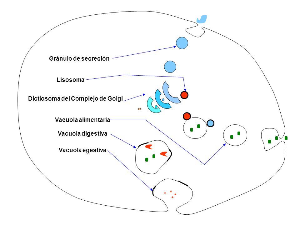Dictiosoma del Complejo de Golgi