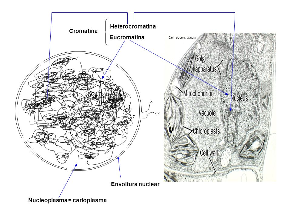 Nucleoplasma = carioplasma