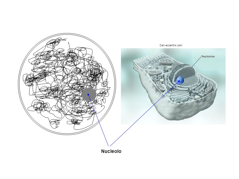 Cell-eccentrix.com Nucleolo