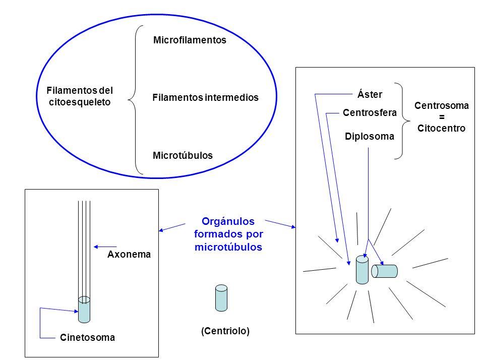 Filamentos del citoesqueleto