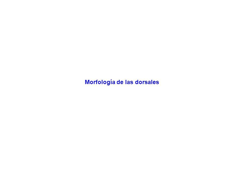 Morfología de las dorsales