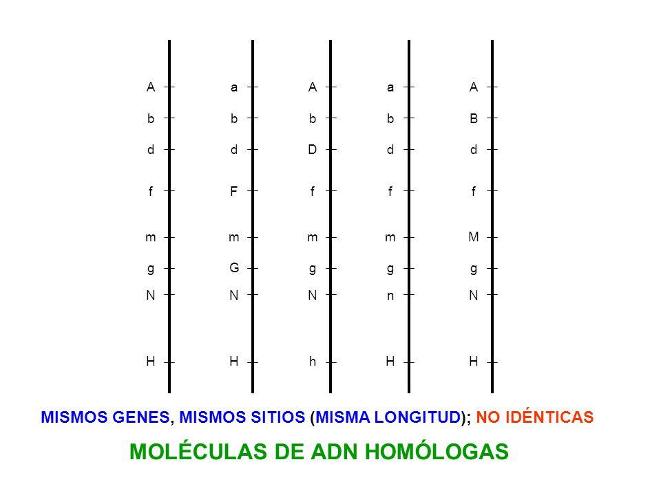 MOLÉCULAS DE ADN HOMÓLOGAS