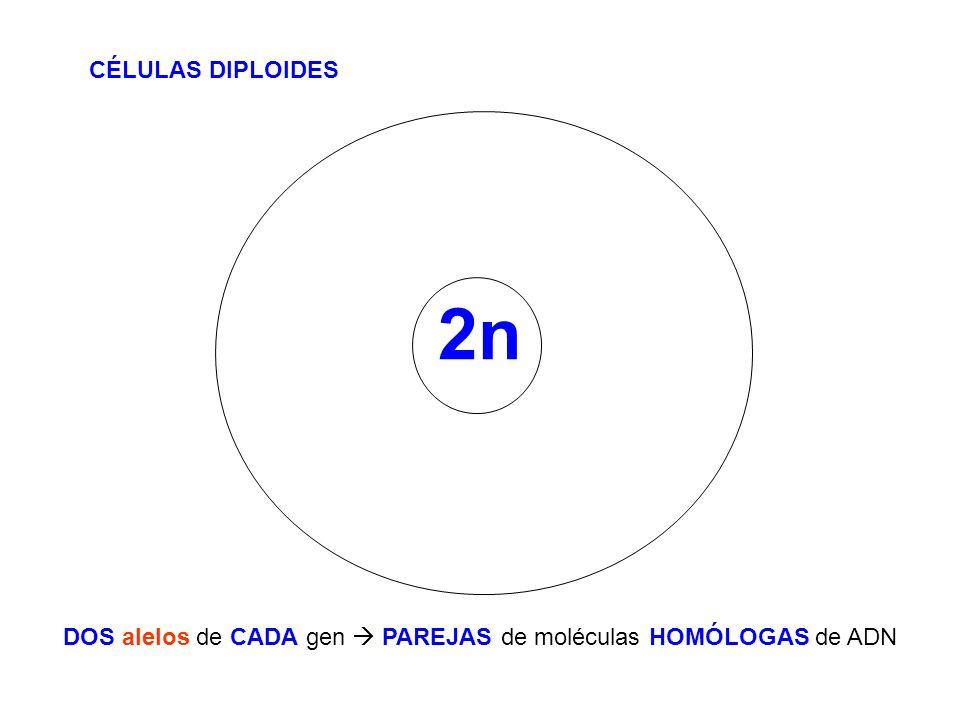 DOS alelos de CADA gen  PAREJAS de moléculas HOMÓLOGAS de ADN