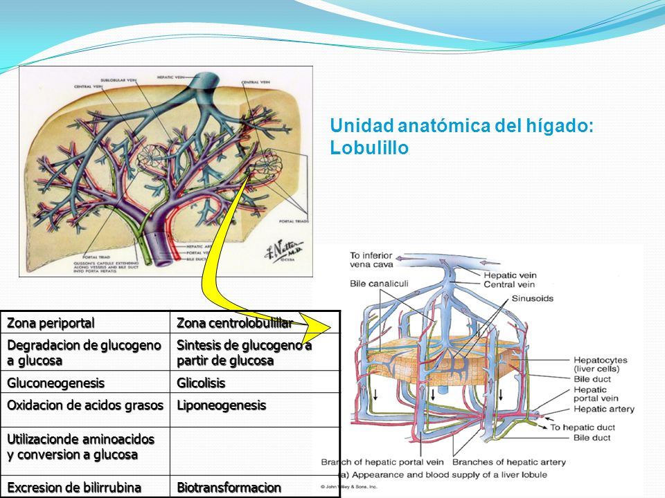 Unidad anatómica del hígado: Lobulillo
