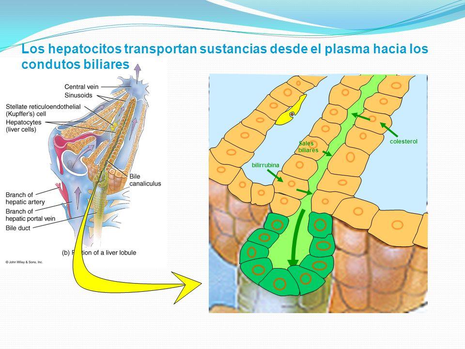 Los hepatocitos transportan sustancias desde el plasma hacia los condutos biliares