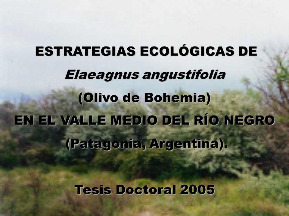 Elaeagnus angustifolia (Olivo de Bohemia)