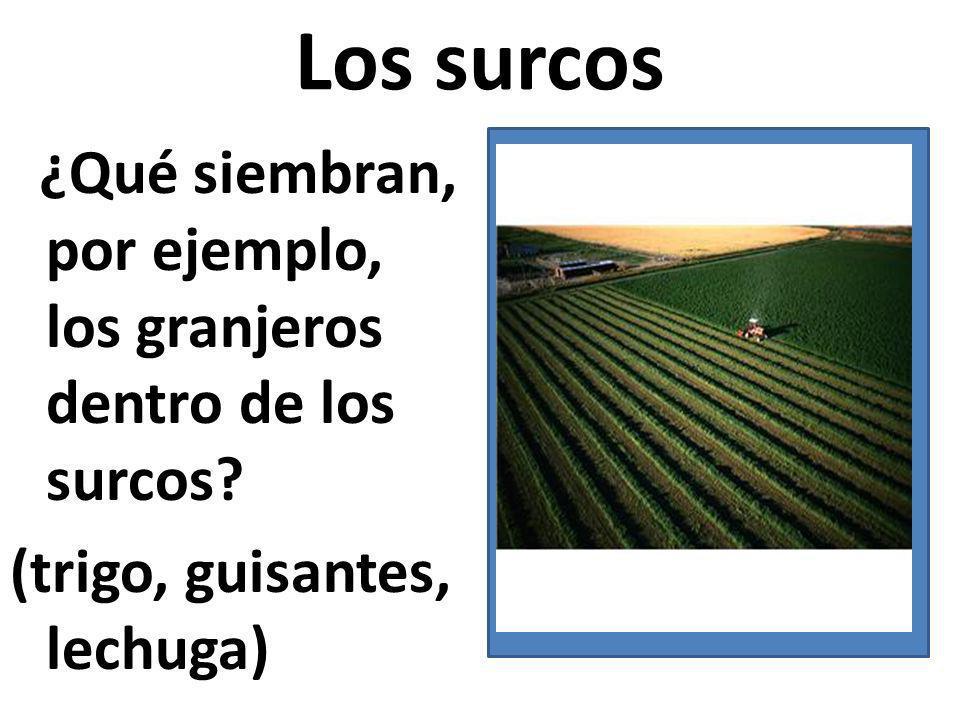 Los surcos ¿Qué siembran, por ejemplo, los granjeros dentro de los surcos.
