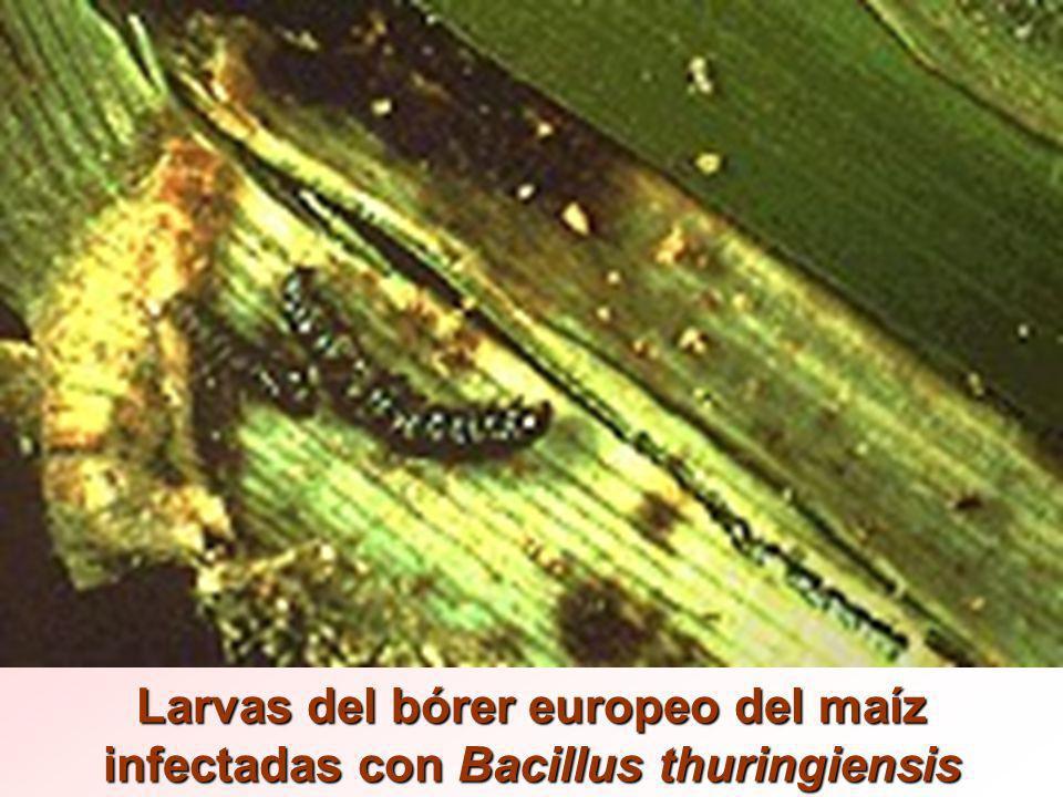 Larvas del bórer europeo del maíz infectadas con Bacillus thuringiensis