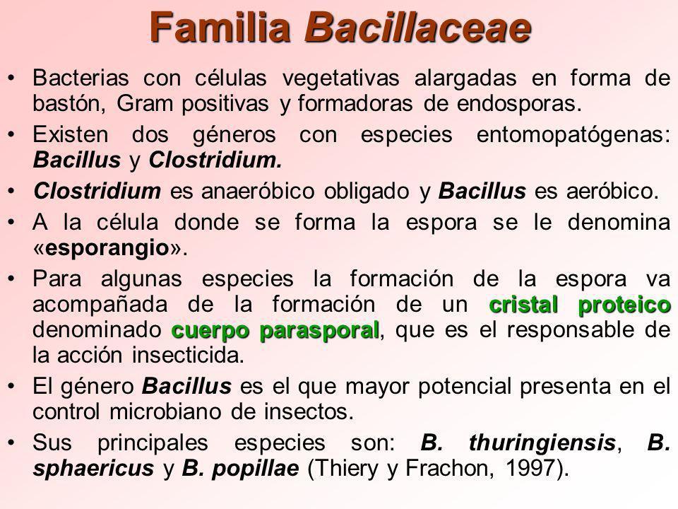 Familia Bacillaceae Bacterias con células vegetativas alargadas en forma de bastón, Gram positivas y formadoras de endosporas.