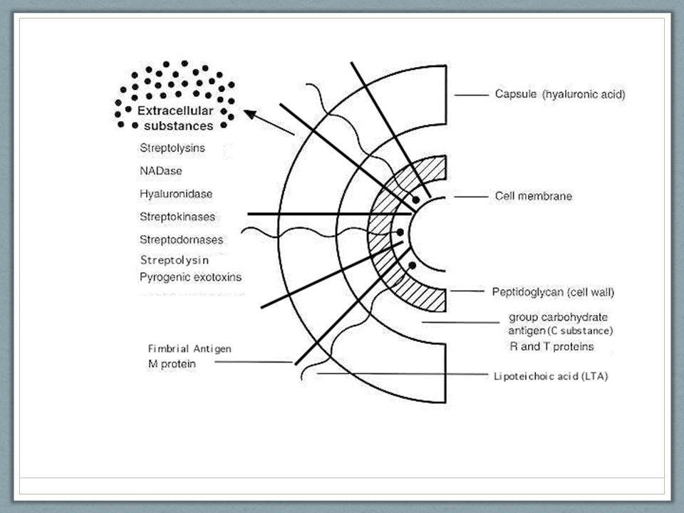 Los componentes de la pared celular son importantes para el serotipo, serogrupo, y determinación de la infectividad