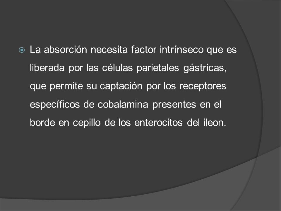 La absorción necesita factor intrínseco que es liberada por las células parietales gástricas, que permite su captación por los receptores específicos de cobalamina presentes en el borde en cepillo de los enterocitos del ileon.