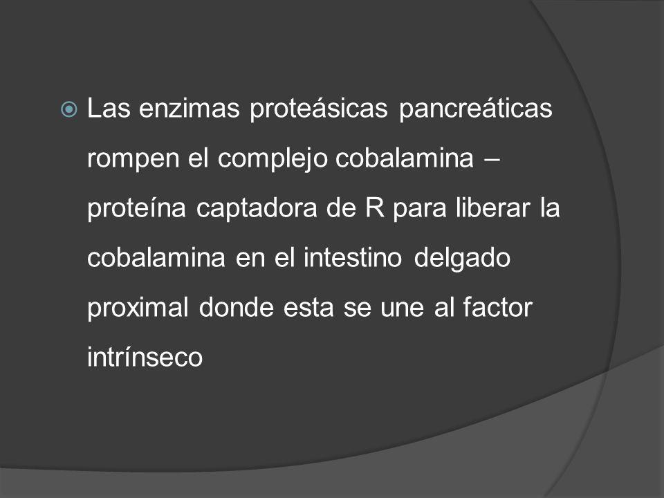 Las enzimas proteásicas pancreáticas rompen el complejo cobalamina – proteína captadora de R para liberar la cobalamina en el intestino delgado proximal donde esta se une al factor intrínseco
