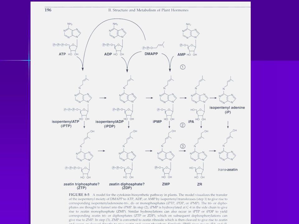 IPP se isomeriza con DMAPP y al unirse al AMP se origina el iPMP (isopenteniladenosine 5 monoP) y este es el precursor de todas las ck que ocurren naturalmente: zeatina mono P, y luego Zeatina (es un compuesto estable).
