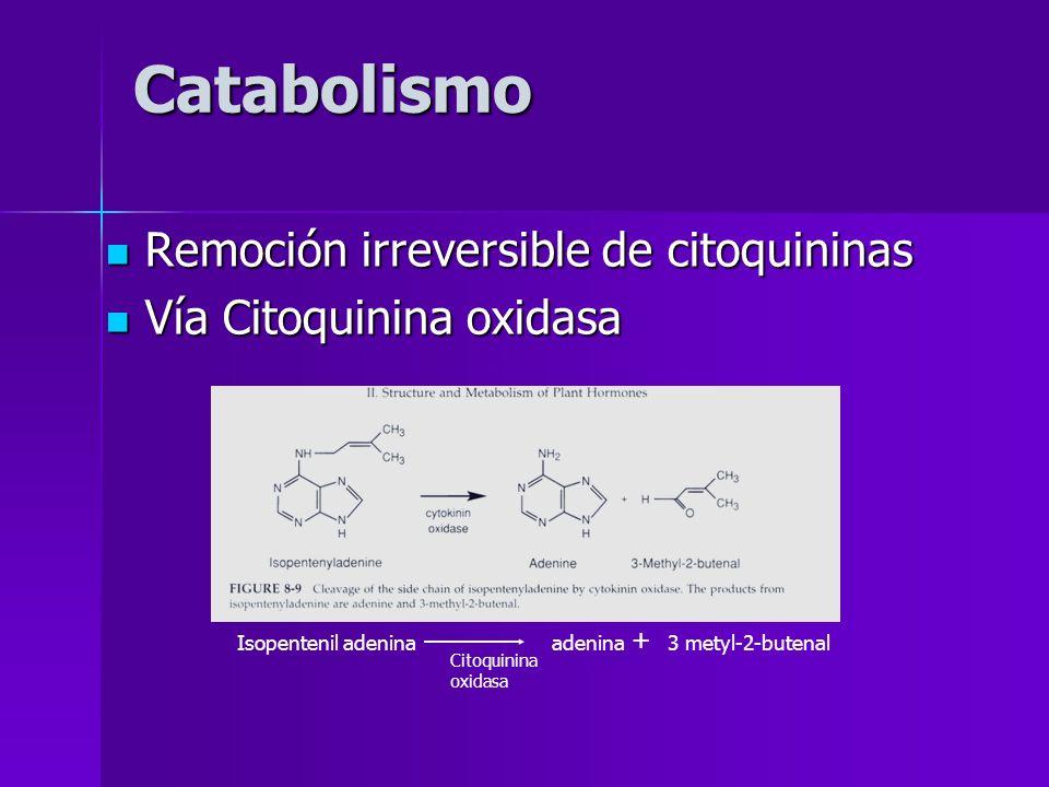 Catabolismo Remoción irreversible de citoquininas
