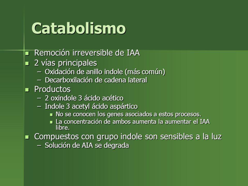 Catabolismo Remoción irreversible de IAA 2 vías principales Productos