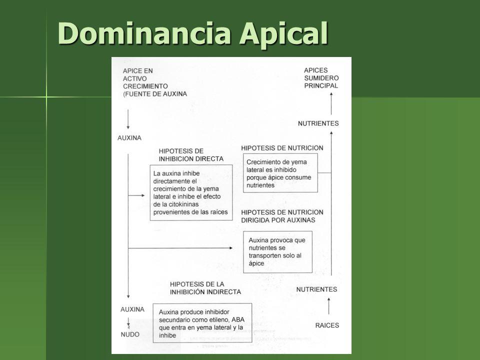 Dominancia Apical